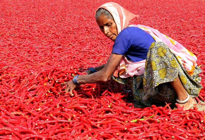 Red chilies at Shertha village
